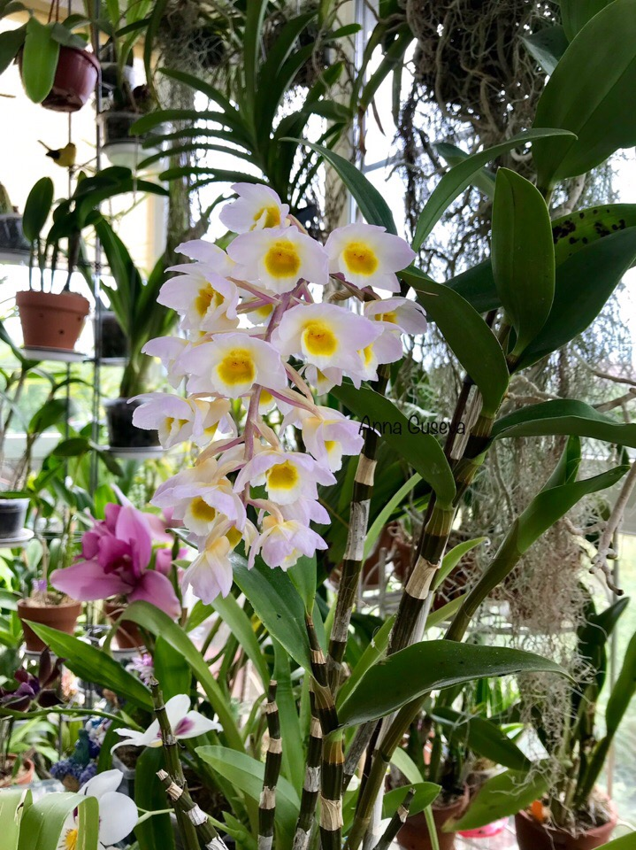 Известные коллекционеры орхидей 9