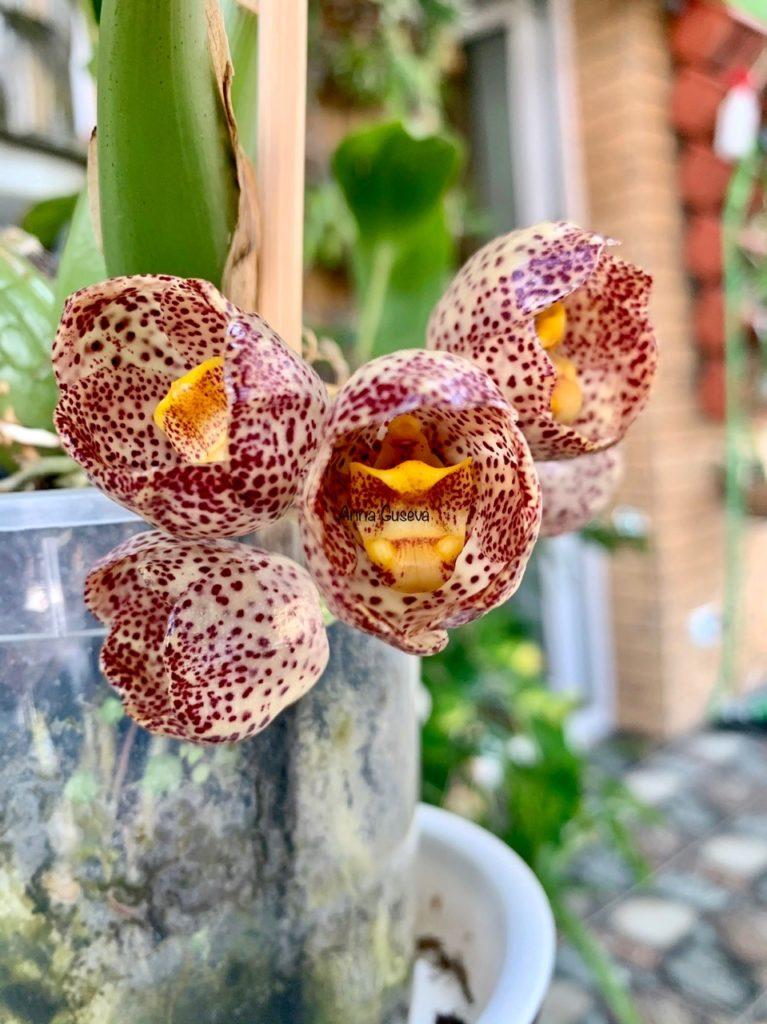 Орхидея Peristeria Перистерия орхидея Святого Духа