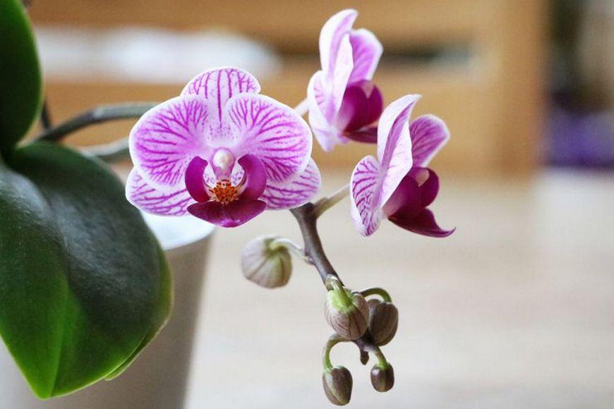 Орхидейная лихорадка