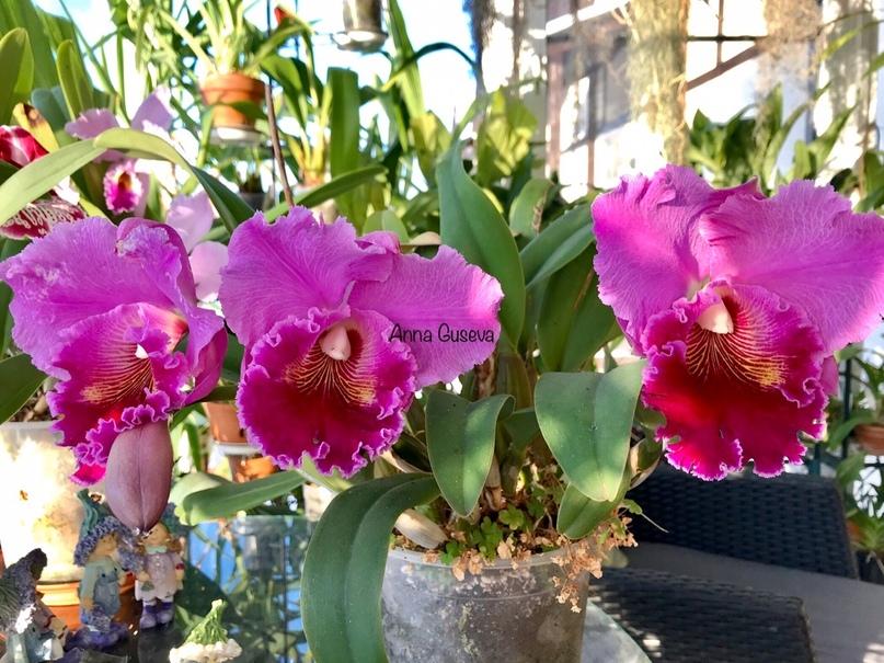 Орхидейная лихорадка 2