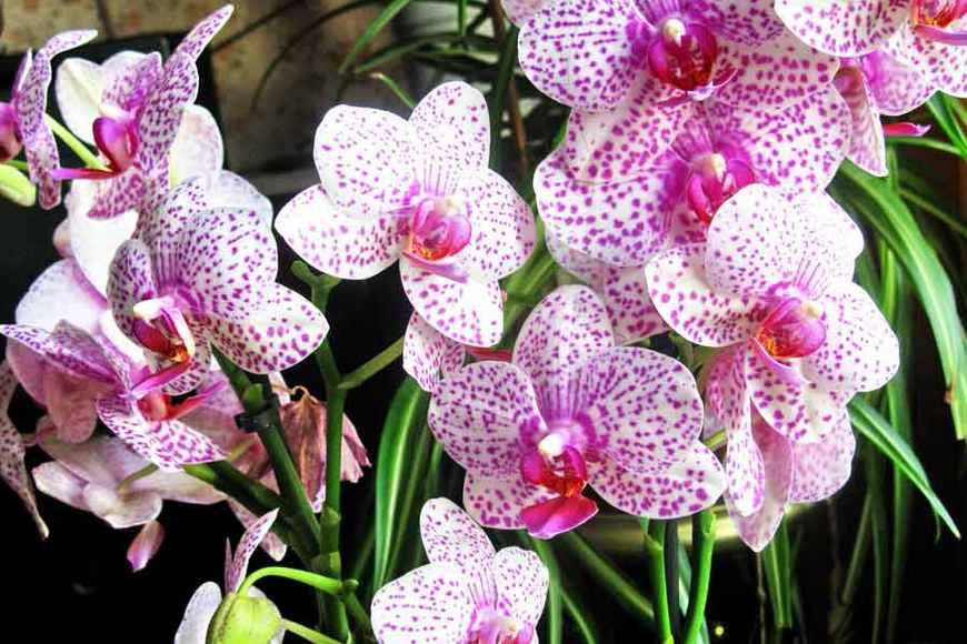 Реанимация орхидей. Рецепт витаминного коктейля