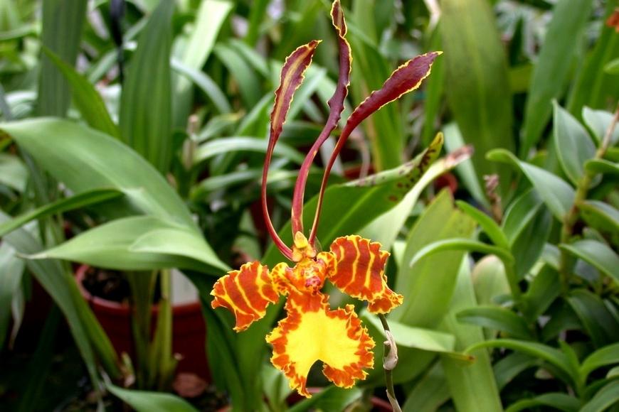Орхидея психопсис Psychopsis