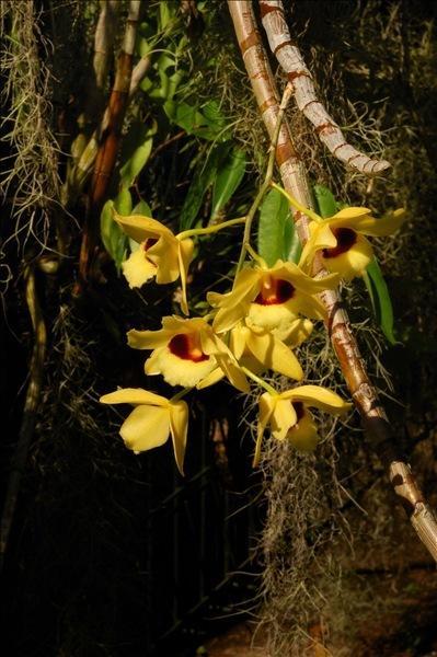 Dendrobium moschatum (Buch.-Ham.) Sw.