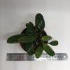 Bulbophyllum Habrotinum