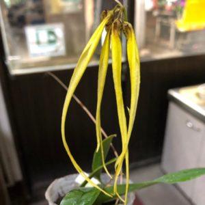 Bulbophyllum Habrotinum Var Alba
