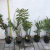 Дендробиум бахромчатый Dendrobium fimbriatum
