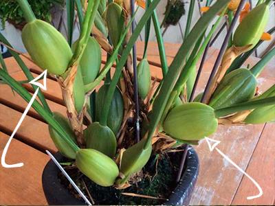 Туберидий или псевдобудьба у орхидей