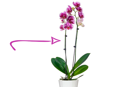 Безлистный стебель орхидеи (стрелка)