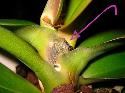Фузаориз на орхидее