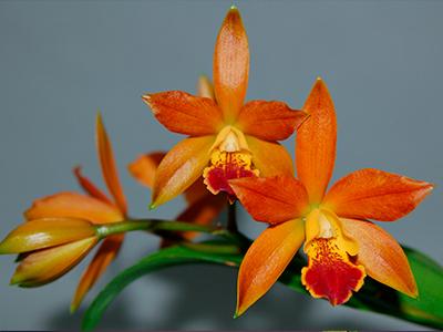 Гибрид орхидеи