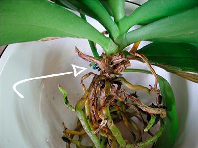 Корневая шейка орхидеи