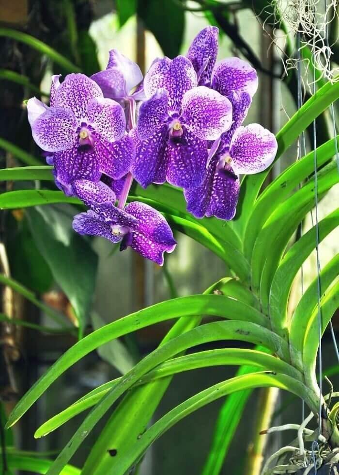 Моноподиальные орхидеи