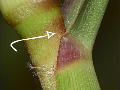 Влагалище листа орхидеи