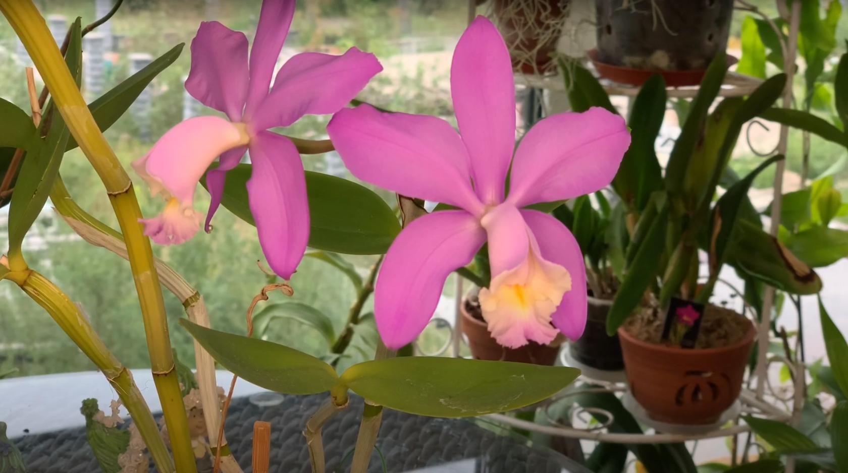 Орхидея Cattleya Loddigesii