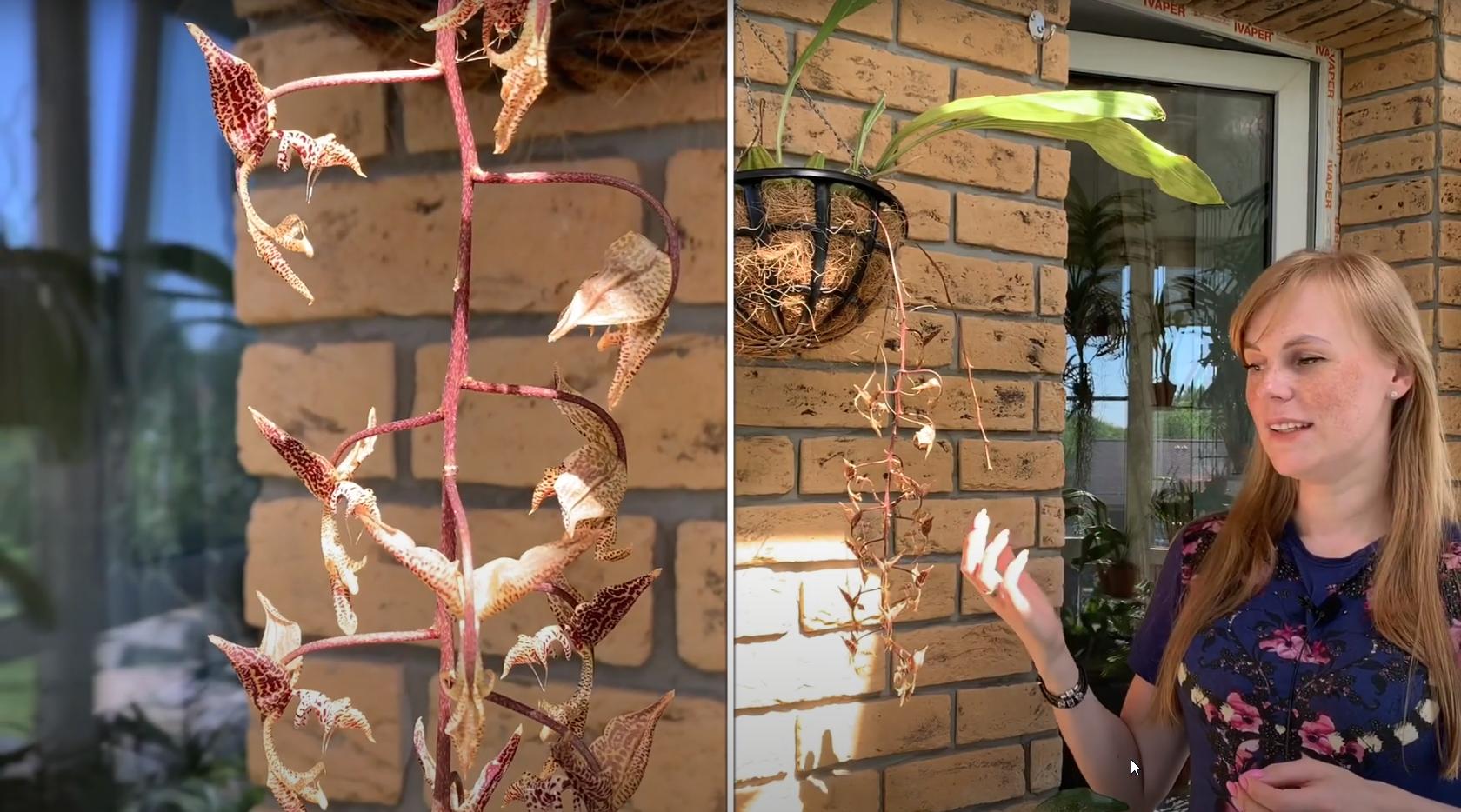 Орхидея Гонгора — Gongora grossa
