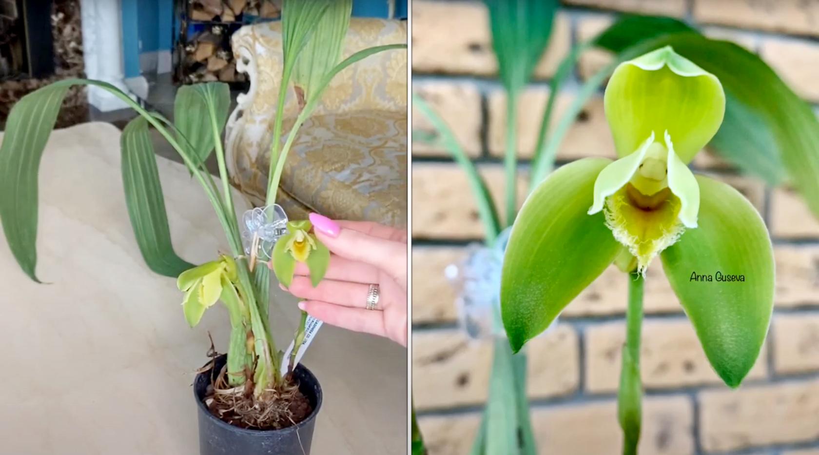 Орхидея Ликаста Lycaste Reichenbachii
