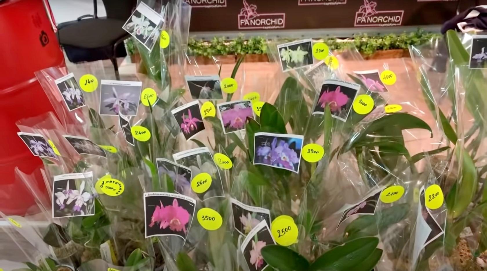Выставка Орхидей: прямой эфир