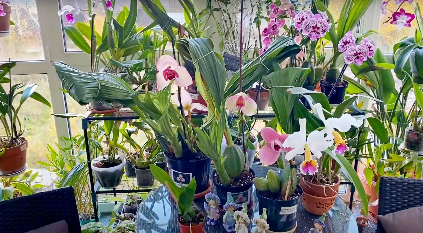 Почему орхидея Lycaste стоит дорого?